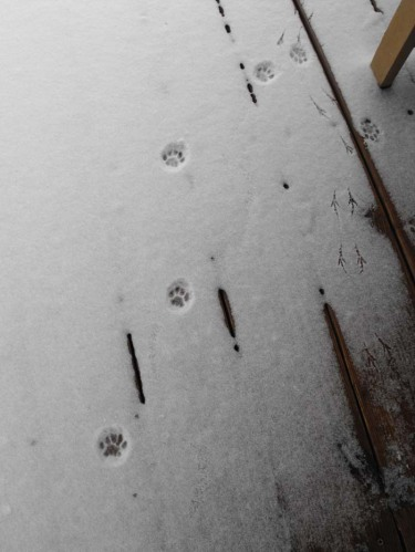 Kitty Tracks