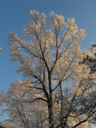 Our Sweetgum Tree is glistening.