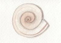 Ramshorn Shell