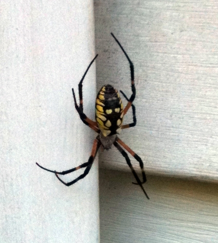 The spider living outside my window.