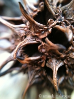 Sweetgum Ball